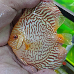 Albino-tiger-turquoise-wattley-discus